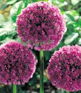 Allium, Ornamental 'Lucy Ball'