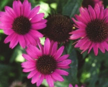Coneflower, Purple 'Magnus'