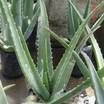 Aloe.thumb