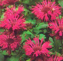 Herbs_monarda_twins-1.full