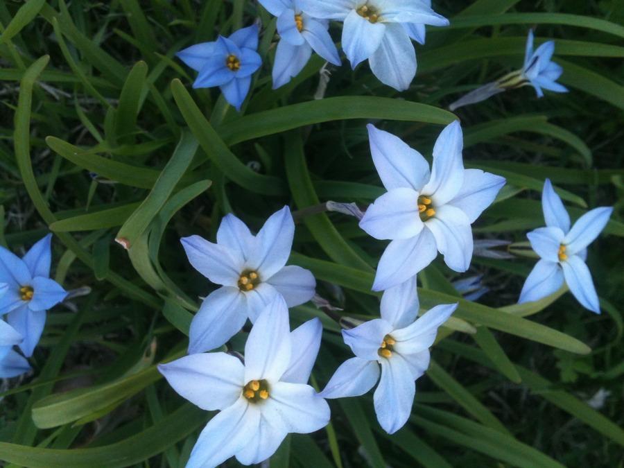 Bulbs_chionodoxa_luciliae-2.full