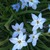 Bulbs_chionodoxa_luciliae-2.small