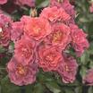 Cinco_de_mayo_rose.thumb