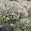 Euphorbia_ammak_cristata.thumb