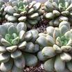 Graptoveria%20amethorum.thumb