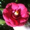 Camellia%20japonica.thumb