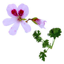 Scented Geranium, Prince of Orange