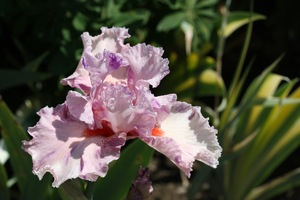 Iris, tall bearded, 'squid squirt'