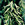 Grasses: Avena sativa, A. fatua