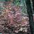 Deciduous: Viburnum acerifolium