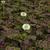 Perennials_trifolium_repens_atropurpureum.small