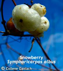 Snowberry_small.detail