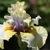Iris_iris_germanica_trade_secret-4.small