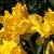 Iris_iris_germanica_vibrant-4.small