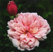 Rose, Antique Climbing 'Albertine' (1921)