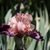 Iris_iris_germanica_wench-4.small