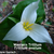 Perennials_trillium_ovatum_spp._ovatum.small