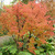 Maples: Acer griseum