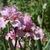 Iris_iris_germanica_wild_irish_rose-6.small