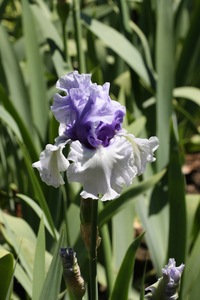 Iris, tall bearded, 'wintry sky'