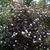 Deciduous_physocarpus_opulifius_diablo.small