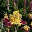 Iris_iris_germanica_ziggy-4.thumb