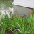 Hardy_bog_plants_iris_louisiana_red_varieties-3.small