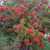 Trees and Shrubs: Callistemon citrinus