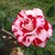 Modern_roses_rosa_rock_n_roll-3.small