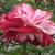 Modern Roses: rosa 'rock 'n roll'