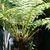 Ferns_dicksonia_antartica-1.small