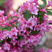 'Sonic Bloom' Weigela