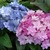 Hydrangeas: Hydrangea macrophylla REI 4 'You-Me Passion'