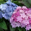 'You-Me Passion' Hydrangea