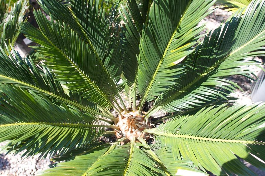 Palms_and_cycads_cycas_revoluta-2.full