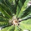 sago palm