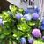 Hydrangeas: hydrangea