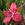 Tropicals: Hibiscus semilobatus