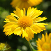 Perennials_gaillardia_x_grandiflora_mesa_yellow-2.thumb