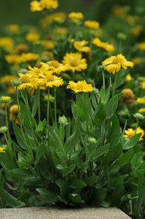 Blanket Flower 'Mesa Yellow'