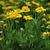 Perennials_gaillardia_x_grandiflora_mesa_yellow-2.small