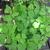 Perennials: Vancouveria hexandra