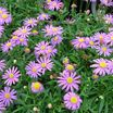 Aster_brachyscome_majestic_magic.thumb