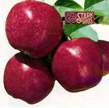 Apple Tree, Semi-dwarf 'Stark® Royal Gala'