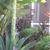 Tropicals: Agave americana
