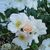 Modern Roses: Rosa 'Sally Holmes'