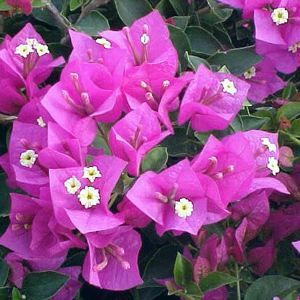 Bougainvillea, 'Royal Purple'
