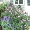 Annuals_cleome_hybrid-2.thumb