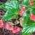 Begonias: Begonia 'Dragon Wing Red'