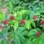 Tropicals_calliandra_emarginata-5.small